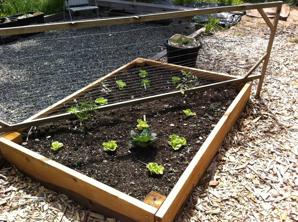 Garden bed with tom thumb lettuce and tomatoes